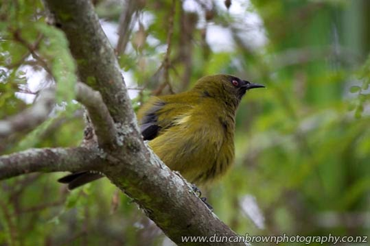 Bellbird at Pukeora Estate, Waipukurau photograph