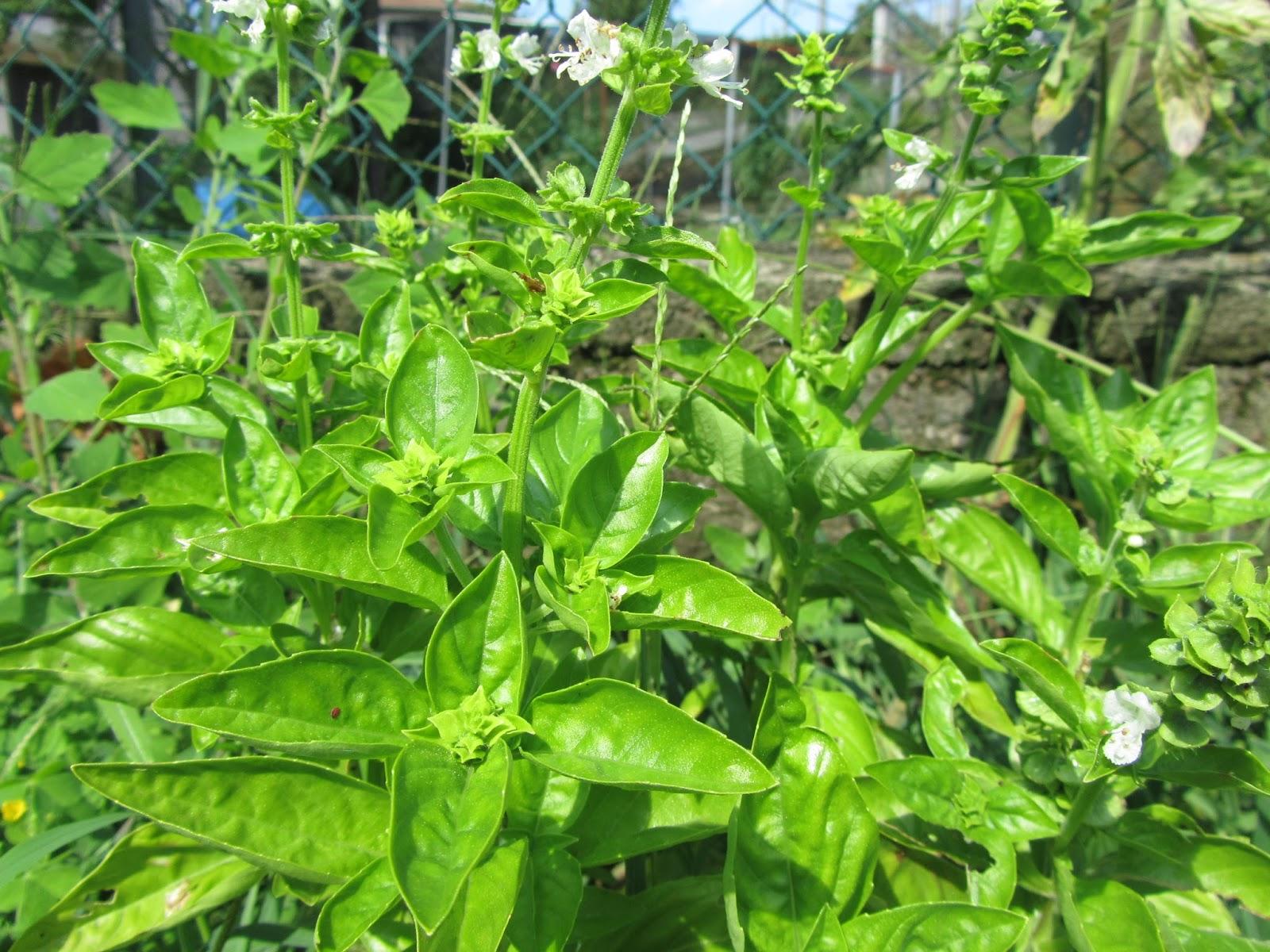 Come coltivare il basilico ocimum basilicum partendo da - Come coltivare il basilico in casa ...