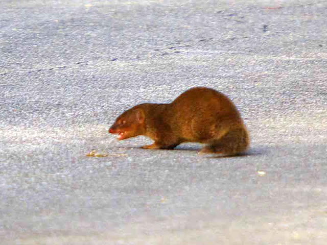 mongoose, growling