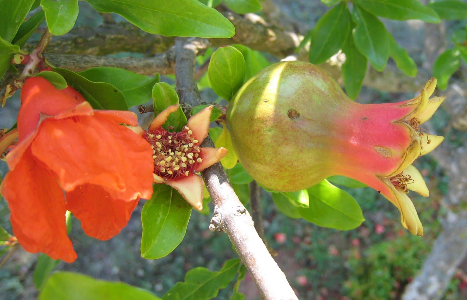 Цветок хурмы