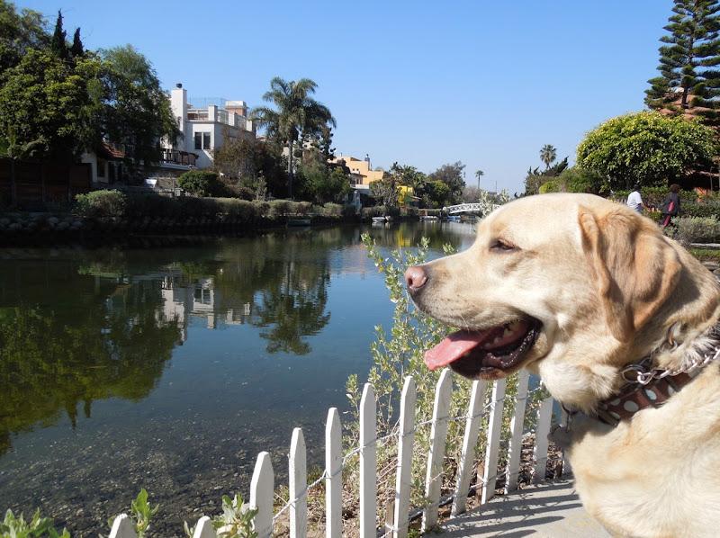 Labrador Cooper Venice Canals