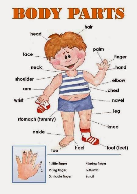 El cuerpo humáno con sus nombres en inglés - Imagui