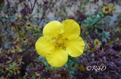 Gul blomma på brun höstbuske. foto: Reb Dutius