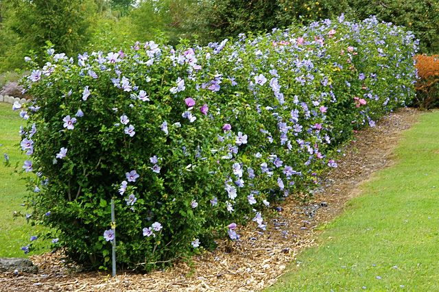 Home And Decoration Tips Growing Rose of Sharon Shrub Hedges in