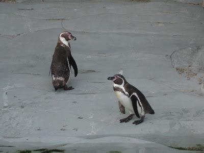 pinguinos-oceanografic-valencia