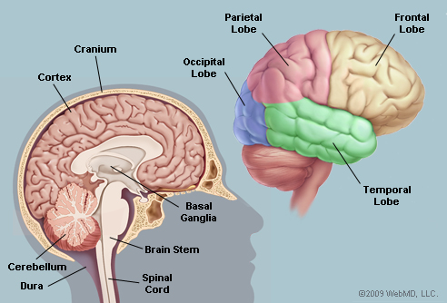 Brain Anatomical6