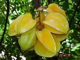 Budidaya Belimbing madu