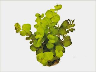 gambar-Lysimachia-Nummularia-Golden-tanaman-stem-aquascape
