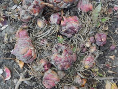 Harvested Lilium Bulbs