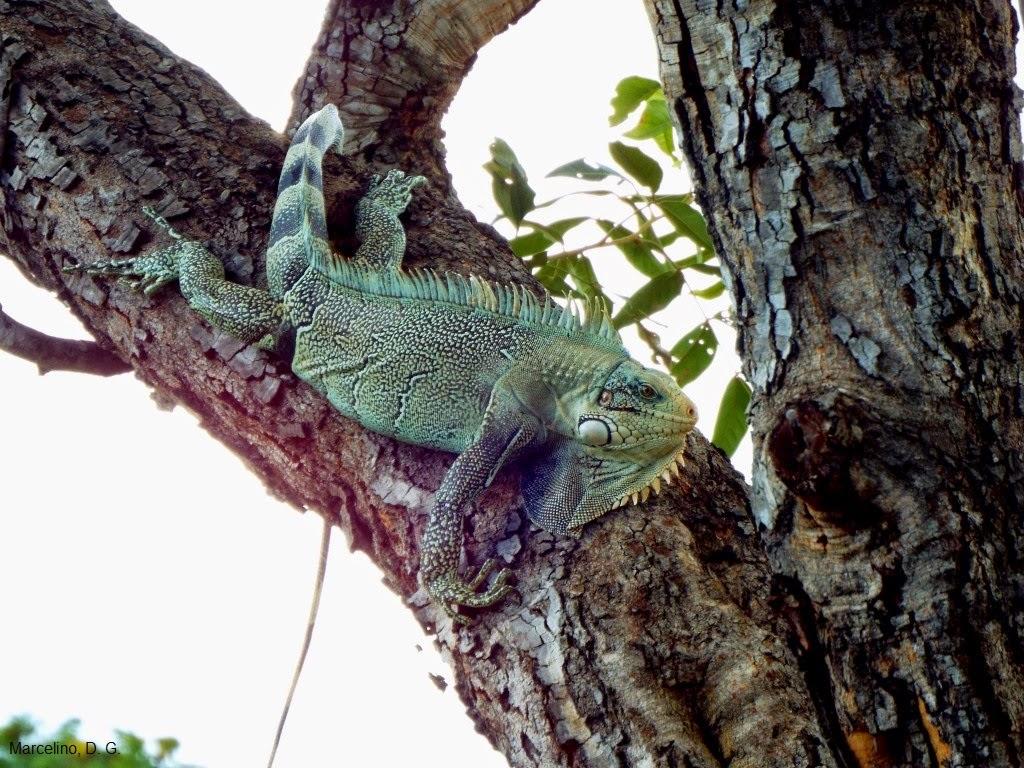 Green-iguana-iguana-iguana-verde-iguana-comum