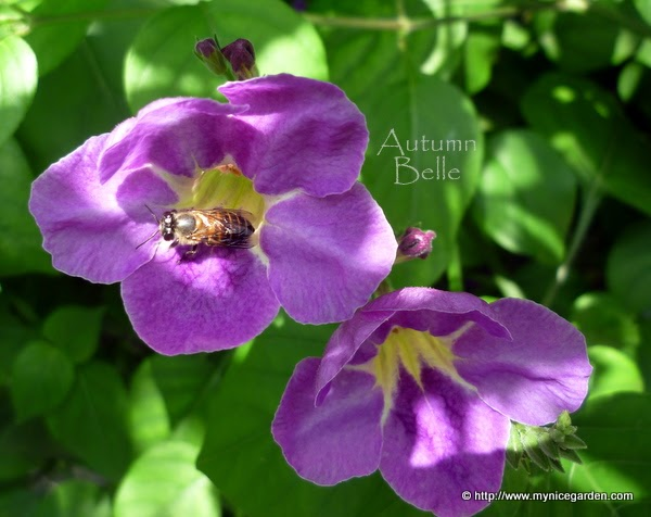 Asystasia gangetica - A Chinese Violet from Mafia Island