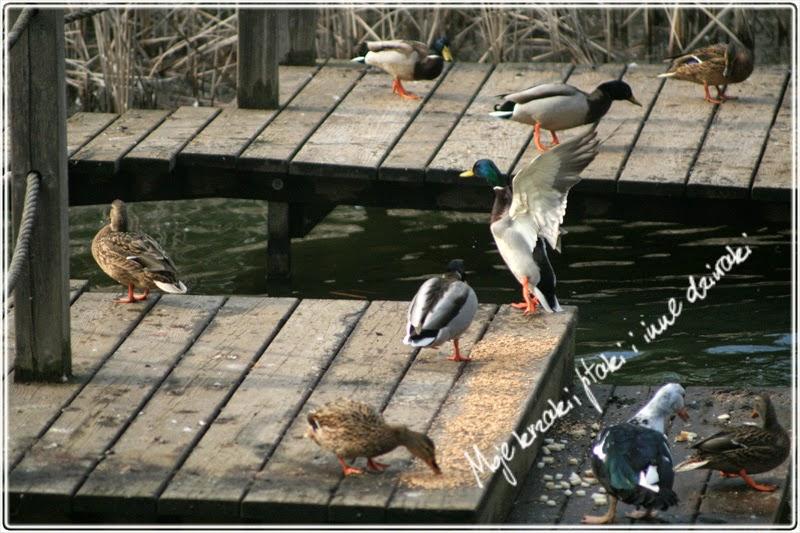 zimowanie kaczek,  kaczki krzyżówki, wintering ducks, mallard duks