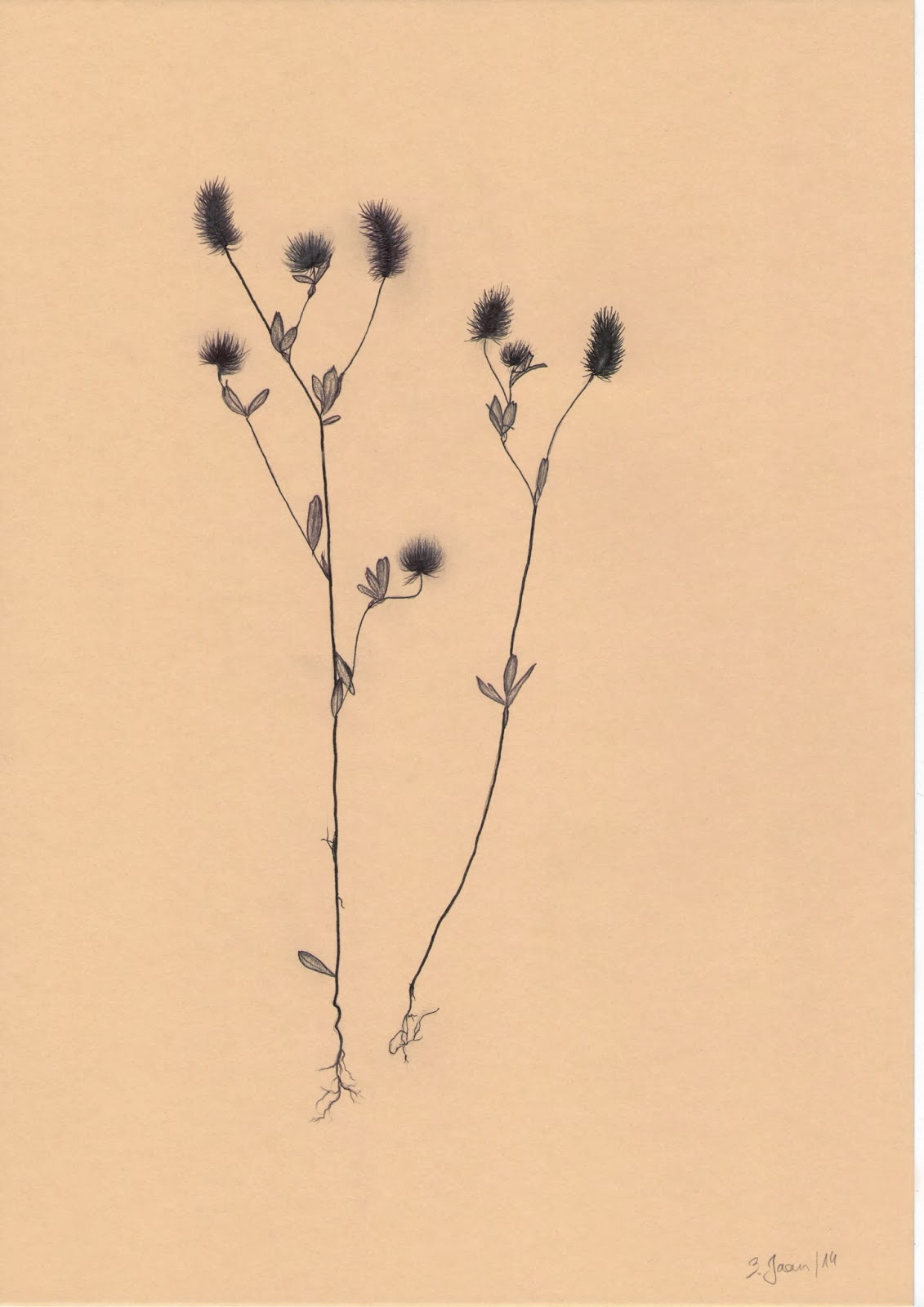 Kassiristik Trifolium arvense L.