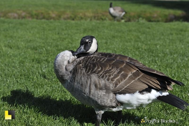 oie bernache dans le parc de Vizille photo blachier pascal