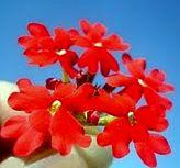 Flor de yuyo - Verbenas