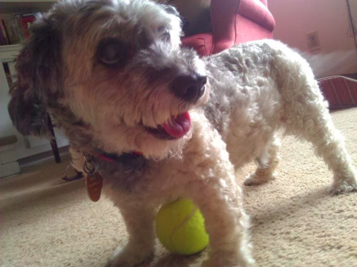 Cute dogs - part 8 (50 pics), dog playing with tennis ball