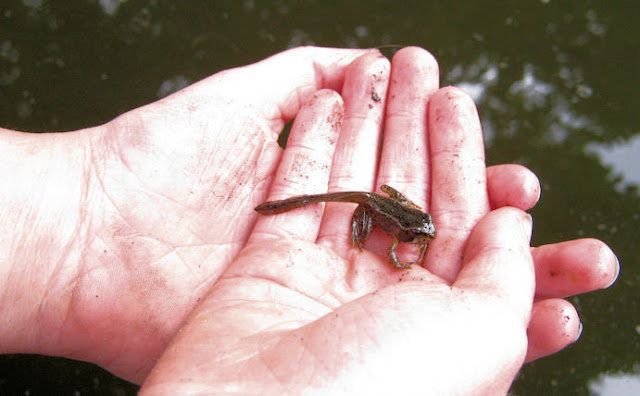 Froglet found in pond
