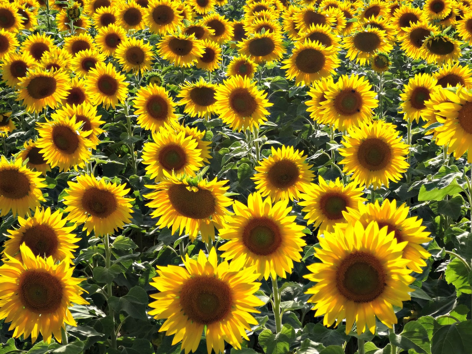 beautiful sunflower field endless