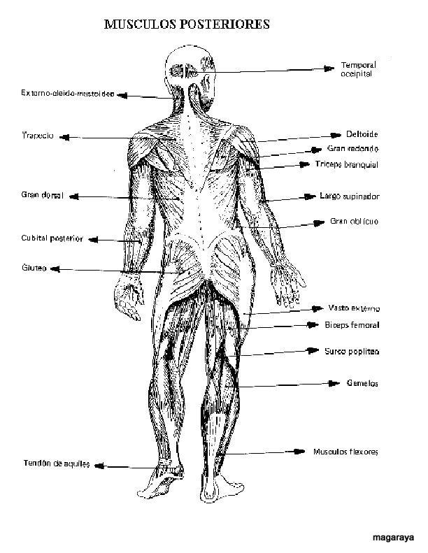 Vistoso Anatomía Muscular Para Colorear Modelo - Dibujos Para ...