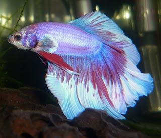 Bubbles bettas tail types and patterns for Different types of betta fish