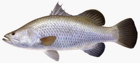 mancing ikan kakap merah,cara mancing ikan Baramundi,cara mancing ikan kakap di muara,ikan Cabikan,trik mancing ikan kakap,teknik mancing Ikan Cukil,tips untuk mancing ikan,ikan kakap putih,ampuh,