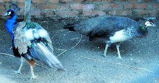 Pavão Real e fêmea, Mini Zoológico de Aves - Santiago (RS)