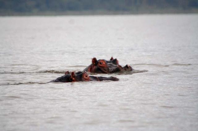 Hippos Lake Naivasha