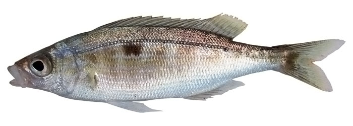 istrongilos balığı ile ilgili görsel sonucu