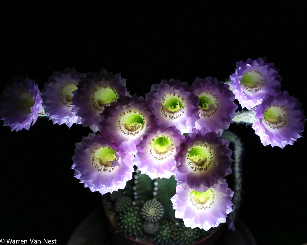 Touch the wind Night blooming Echinopsis on the patio last night