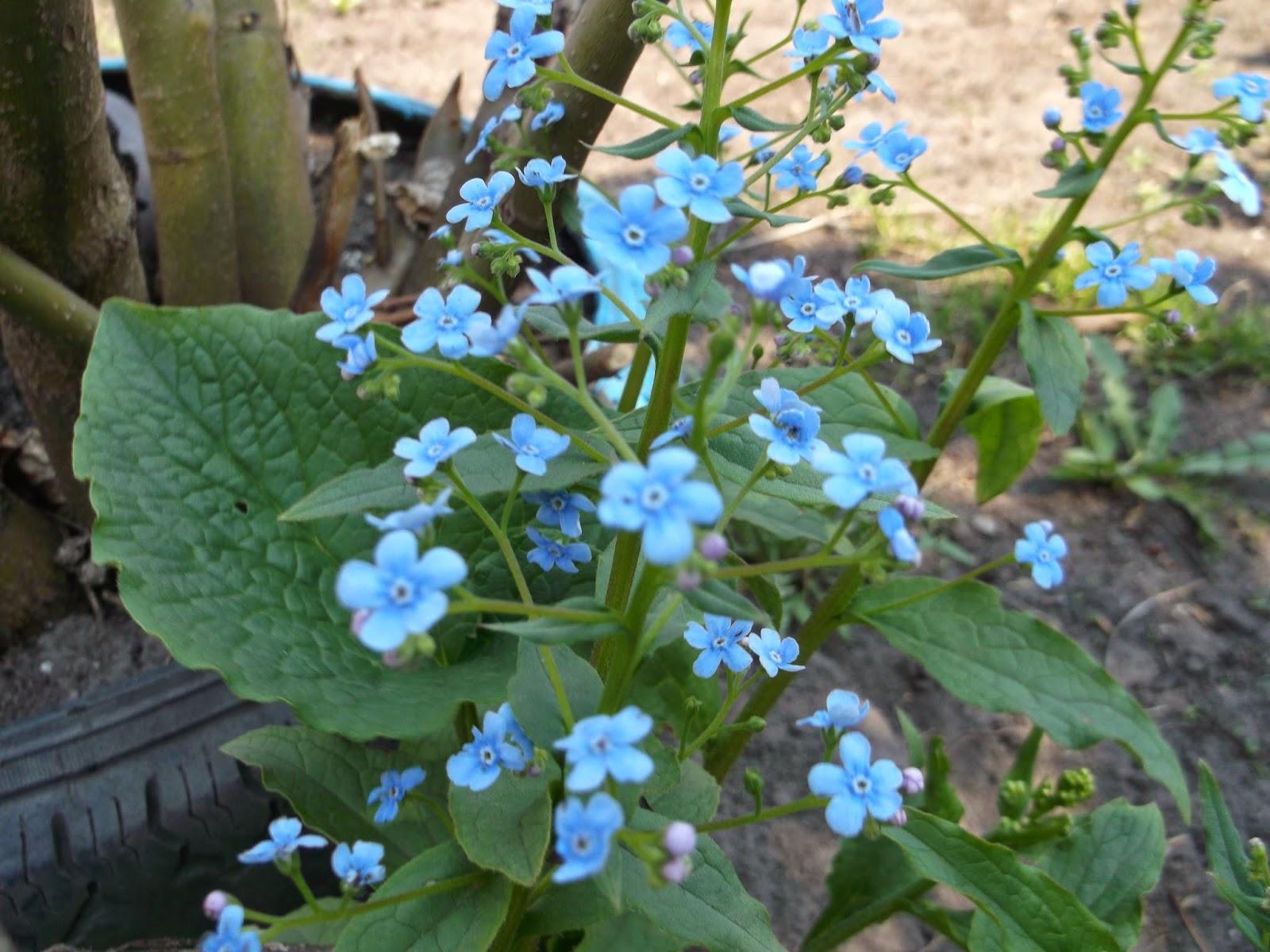 Фото цветок бруннера