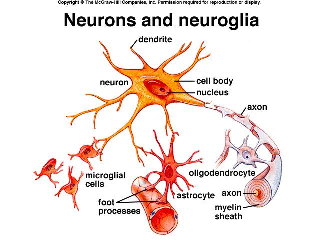 Neuroglia; Gliócitos; Glia; Células Gliais; Células ...