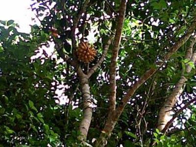 Pohon Jengkol Berbuah Pisang di Dumai Riau