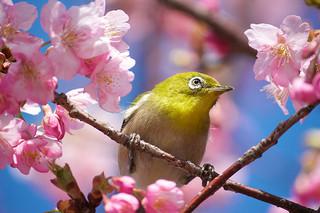 Burung pleci juga perlu rekreasi supaya cepat buka mulut dan gacor