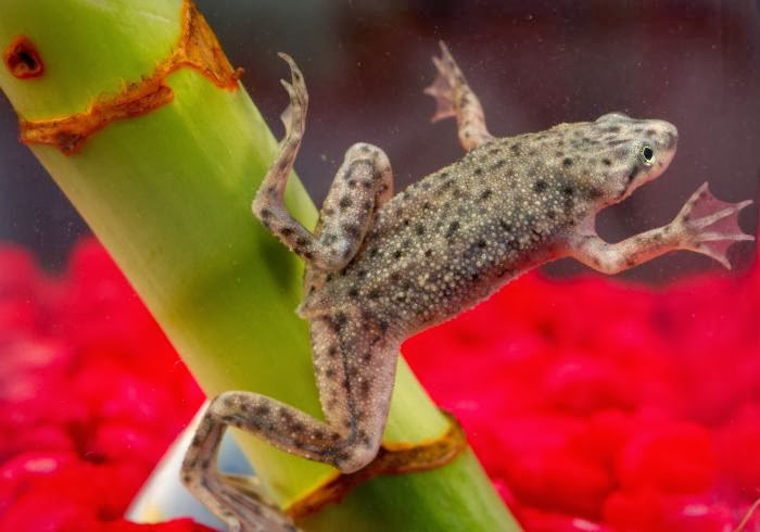 more than sweet potatoes: Aquatic Life Series: Schroeder the Frog ...