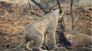 شاهد بالصور: مات الاسد بعد افتراسه للغزاله والسبب غريب جدا !! .. سبحان الله