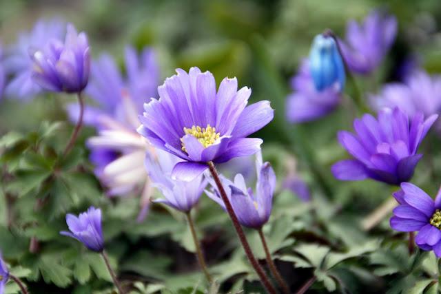 blå blomster i april