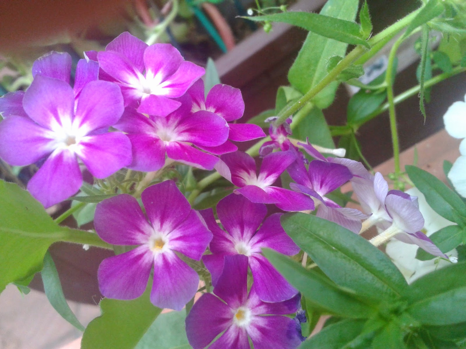 Purple And White Phlox