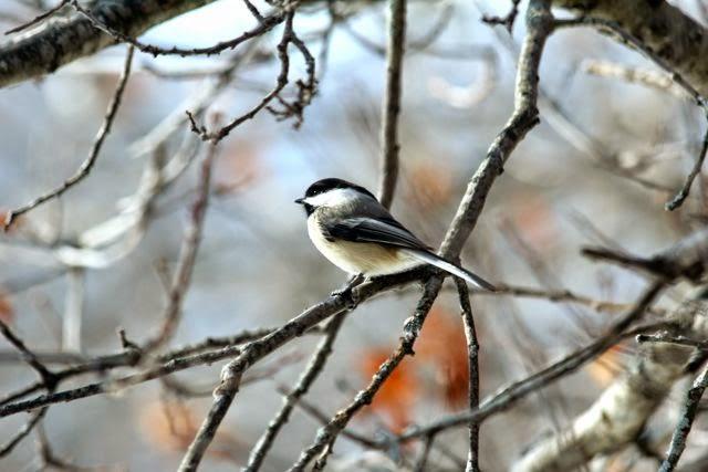 black capped chickadee in oak tree