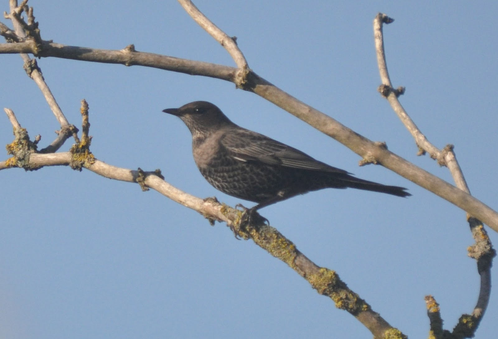 Ring Ouzel January