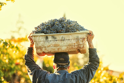 © Carolyn Corley Burgess - Burgess Cellars - Napa Valley - vineyard photographer