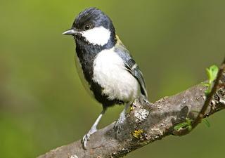 Burung Glatik Wingko atau Gelatik Wingko