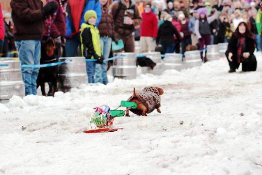 k9 keg pull sandpoint idaho winter carnival || chestnut mocha blog