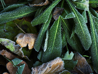 Closeup image of some green frosted leaves