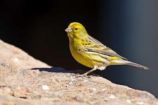 Burung Kenari - Solusi Penangkaran Burung Kenari -  Kode Ring Kenari Import Pada Negara Israel