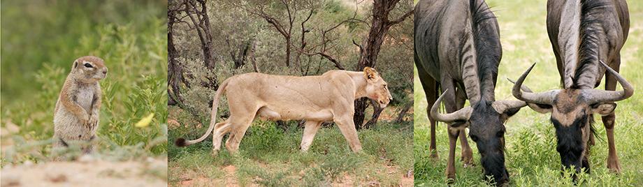 Ynas Reise Blog | Im Kgalagadi Transfrontier National Park | Löwen und Gnus