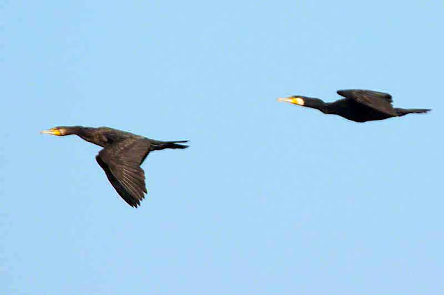 cormorant, birds, in flight