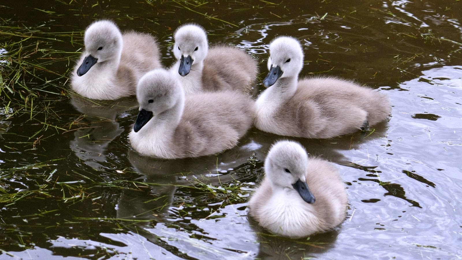 my best photo selection: Cute Baby Swan