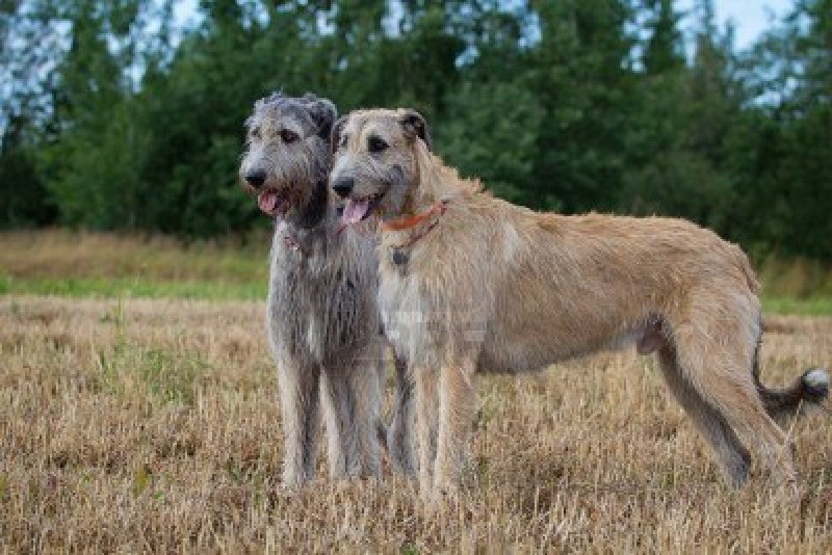 Amy Jarecki Writes: A-Z Challenge - I For Irish Wolfhound