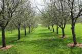 Spring Apple Trees
