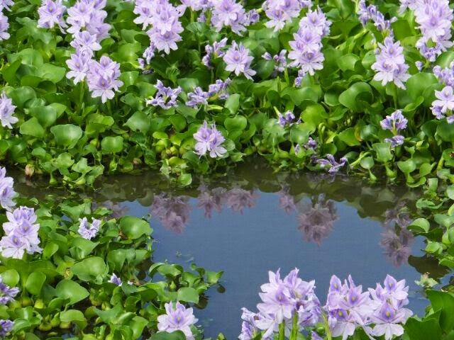 やっと天気がよくなってきたので水に映る美しいホテイアオイを撮影した。